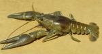 Rusty Crayfish (Orconectes rusticus)